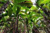 foto of banana tree  - Banana tree plantation in Thailand - JPG
