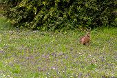 picture of hare  - Wild hare in green grass being alert - JPG