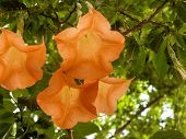 stock photo of trumpets  - blossom of the toxic plant angel - JPG