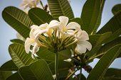 stock photo of plumeria flower  - White tropical flowers (Plumeria Frangipani) in garden ** Note: Shallow depth of field - JPG