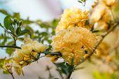 image of climbing roses  - Climbing rose  - JPG