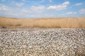 stock photo of marshes  - Tall Marsh Grass Against a Blue Sky with Clouds - JPG