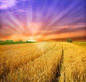 image of nubian  - sunset over wheat field - JPG