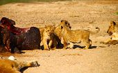 stock photo of kill  - A group of baby lions protecting their pride