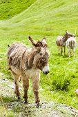 picture of donkey  - donkeys on meadow - JPG