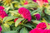 picture of cockscomb  - Close up cockscomb flower in the garden - JPG