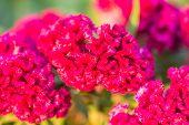 foto of cockscomb  - Close up cockscomb flower in the garden - JPG