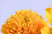 image of marigold  - Macro shot of marigold flower showing natural pattern - JPG
