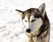 image of siberian husky  - Siberian Huskies in nursery for dogs on Kamchatka - JPG