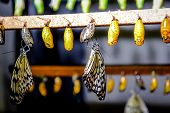 pic of chrysalis  - Chrysalis of Idea leuconoe butterfly close up - JPG