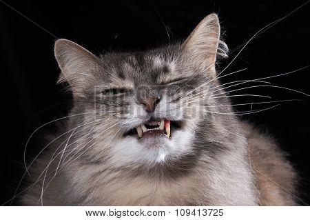 Cat laughs. Portrait of a smiling cat.