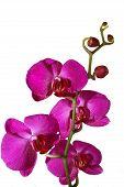 Постер, плакат: Розовая орхидея