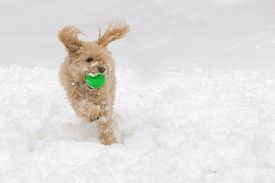 pic of cockapoo  - A cockapoo dog playing ball in the snow - JPG
