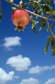 foto of sukkoth  - pomegranate on branch against cloudy blue sky - JPG