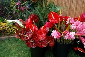 stock photo of tillandsia  - flamingo flowers and other tropical flowers in garden - JPG