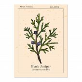 Black Juniper Juniperus Indica , Evergreen Medicinal Plant. Hand Drawn Botanical Vector Illustration poster