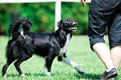 Black And White Border Collie During Obedience Training, Summer Sunny Day poster