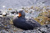 foto of tierra  - Magellanic Flightless Steamer Ducks  - JPG