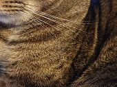 Tiger Stripe Feline Cat, Up Close Photograph Of Cat Fur. Detail Of Fur And Whiskers On A Tabby Domes poster