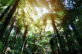 Tree ferns canopy in tropical jungle  poster