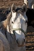 foto of lipizzaner  - Graceful White Horse  looking at the camera - JPG