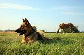 picture of alsatian  - Portrait of a beautiful german shepherd or alsatian dog lying in the grass  and observation - JPG