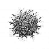 Cactus Isolated On White Background. Hand Drawing. Vintage Style. Black And White. Image Of An Everg poster