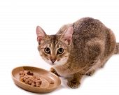 Beautiful bengal cat eats cat-like meal on the white background