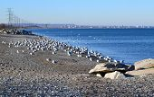 picture of skyway bridge  - A swarm of seagulls sitting and flying on beautiful blue water of the lake 