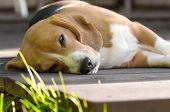 Dog Beagle Dozing On Sunny Wooden Deck. Female Beagle Outdoor poster