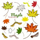 Autumn Set Of Outline Ink And Colored Maple Leaves And Seeds. Engraved Maple Leaves And Seeds. Hand  poster
