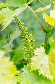 Grape Flower Buds, Baby Grapes. Close-up Of Flowering Grape Vines, Grapes Bloom During Rainy Summer  poster