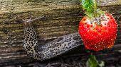Biggest Leopard Slug Crawling Near Strawberries. Agricultural Pest. Selective Focus. poster