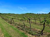 Vineyard In England. Vineyard In The Weald In Kent In England. Early Summer Vines. Rows Of Grapevine poster