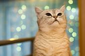 Silver Tabby British Cat With Bokeh Background poster