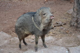 picture of javelina  - A Javelina standing on a piece of rocky ground - JPG