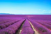 stock photo of lavender plant  - Lavender flower blooming scented fields in endless rows - JPG