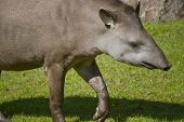 stock photo of tapir  - South American tapir on green grass background - JPG