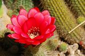 stock photo of stippling  - red cactus blossom in detail with green cactus plant as background - JPG