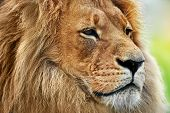 stock photo of lion  - Lion portrait on savanna - JPG