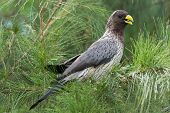 image of plantain  - A Western Grey Plantain Eater perched in an ironwood tree - JPG