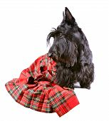 Scotch Terrier In A Red Tartan