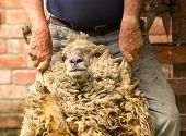 Farmer Holding Sheep By Arms Before Shearing