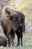European Bison Has Injured His Leg