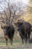 Group Of Wild European Bison (bison Bonasus) In Autumn Deciduous Forest