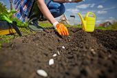 stock photo of farmers  - Image of female farmer sowing seed of squash in the garden - JPG