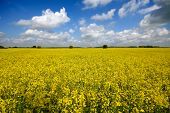 Yellow rape field with blue and cloudy sky.