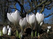 4 small crocuses