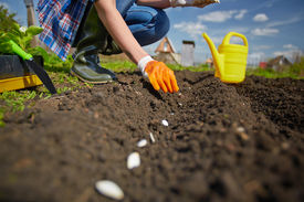 stock photo of farmer  - Image of female farmer sowing seed of squash in the garden - JPG