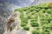 picture of jabal  - Image of landscape Saiq Plateau and agriculture terrace cultivation in Oman - JPG